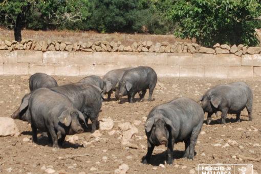 Escasez de porc negre