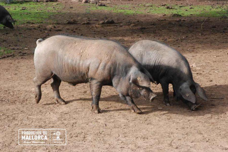 Grasa saludable del Porc Negre