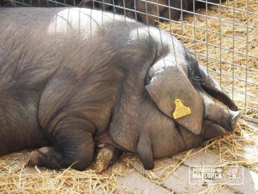 Healthy fat of the Porc Negre