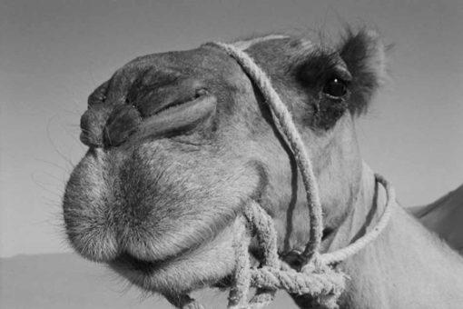 Vuelta a Mallorca en camello